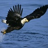 Bald Eagle Jigsaw Puzzle online game