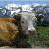 Alpine Cow Jigsaw online game