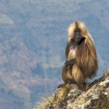 Baboons Jigsaw online game