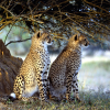 Big Leopard Jigsaw online game