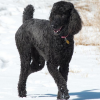 Poodle Jigsaw online game