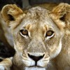 Wild Lion Jigsaw online game