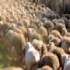 Flock of Sheep Slider