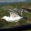 Marine Birds Jigsaw