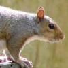 Squirrel Jigsaw Game